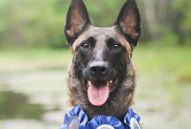 Belgian Shepherd Dog (Malinois) / by Diana