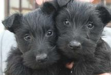Scottish Terrier / by Diana