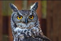 Great Wise Owls