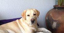 Labradors- Golden retrievers / de liefste en ondeugendste honden die er bestaan