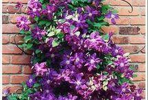 Garden\Tuin : climbing plants\klimplanten / climbing for pergola etc