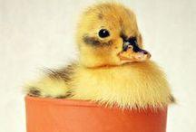 Young ducklings/Jonge eendjes en kuikens / ducklings