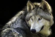 Wolves ❤️