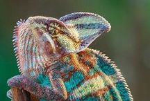 Chameleon / My favorite animal !