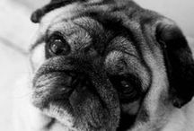 Pugs ♥