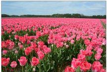 Tulips from Holland | Tulpe aus Holland | Tulipes des Pays-Bas / Lisse | Vogelenzang | Hillegom | Bollenstreek | Keukenhof