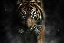 tiger / by Jacob Kleimann