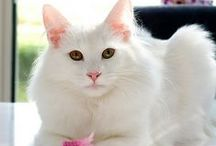 Cats--White / As you can see....I adore white kitties!! / by Kate P.