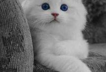 gatti / felini domestici