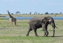 Chobe National Park, Botswana / Wildlife and nature of the Chobe National Park, Botswana
