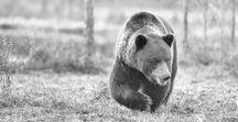 Björn i Finland / Fotografera björn i Finland. Ett häftigt fotoäventyr!