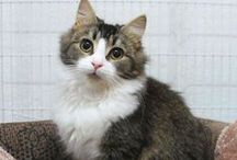 Cat Adoption / All of our felines have been vet checked, desexed, vaccinated, m chipped and wormed/flea treatment given.