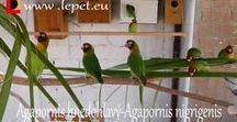 Agapornis, Lovebirds / This board contains Agapornis - Lovebirds parrots.