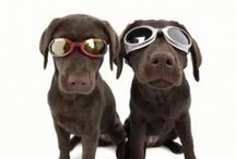 We LOVE Labradors! / This board is specially dedicated to the lovely Labrador. This beautiful family dog deserves a spot in the top of most popular dogs. Here we put funny, cute, and beautiful pictures of the Labrador.