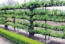Fruit trees - espalier