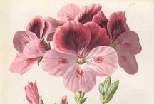 Pelargonit ♡ pelargonium