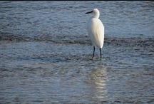 Aves da Foz do Miñor / Aves avistadas na Foz do río Miñor (A Ladeira, Baiona; A Ramallosa, Nigrán).