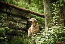 ChepkaDog - tr / Yüksek kaliteli resimler ve köpek ırklarının yüksek çözünürlüklü fotoğraflar / by Olga Chepka