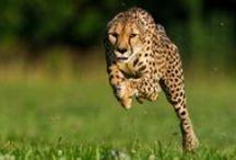 Cheetah / Photos, Videos and more about Cheetahs