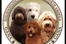 Goldendoodles, all day long / Goldendoodles