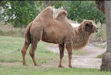 Camelus / Bactrian camel & Decorated camel / by isfeather