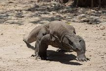 Komodo Package Tour / Did you know Komodo dragon? We offer Komodo tour package visiting the giant monitor lizards the one of top predators on earth.