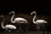Ringed Flamingos - Sardinia /  Ringed Flamingos photographed in Sardinia