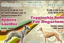 """Dogarium """"B"""" litter - whippets"""