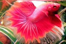 Betta Fish Pictures / Betta fish pictures. A Board of the beautiful colours and fins of Siamese Fighting Fish