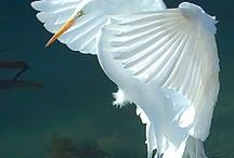 Egrets / Pins of one of my fave birds of the Caribbean...Egrets aka Garlands!!