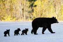 BILDER - Björnar