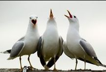 BILDER - Fåglar / Måsar