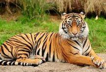 BILDER - Tigrar