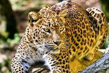 BILDER - Leopard