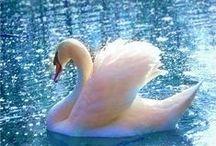 BILDER - Fåglar / Svanar