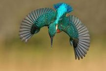 Birds of a Feather: Kingfisher / The most beautiful and small blue flash.
