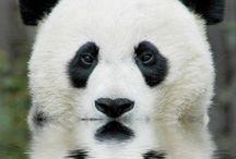 熊猫ちゃん / かわいいパンダが大集合