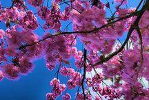 Cherry Blossom  & BOCAN