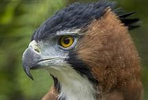 Eagles & Other Raptors / by Jacques Safavi My virtual Museum