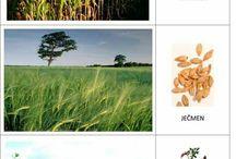 Prvouka - užitkové rostliny a obilniny