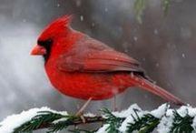 Cardinals de Lise