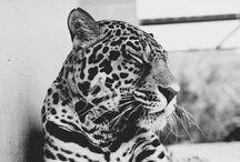 Leo & Co. - Wild cats