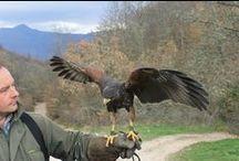 Scuola di falconeria / Scuola di falconeria in Umbria, dimostrazioni, corsi di falconeria classica, didattica per le scuole.