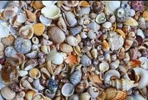 Shell Life / Small or large, beautiful seashells are all around us.