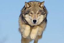 Beige Wolf / Wolf