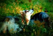 Волки   Wolves