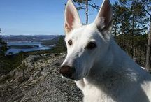love || White Swiss Shepherd Dog / Pictures of White Swiss Shepherd Dog/Berger Blanc Suissr