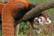 ANIMALS - RED PANDA