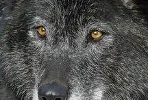 Loups et renards