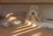 Bearded Collie Spain / Bearded Collie Perros pastores